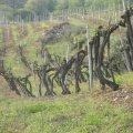 Rezzadore Vines