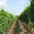 Nino-costa-vines